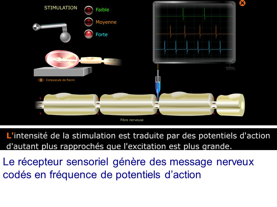Le récepteur sensoriel génère des message nerveux codés en fréquence de potentiels daction