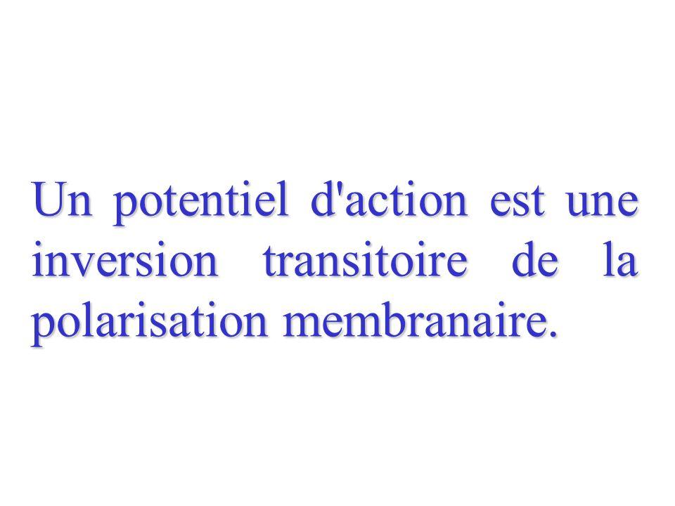 Enregistrement après une stimulation efficace : le potentiel d action ABCDE 1 ms -70 -60 -50 -40 -30 -20 -10 0 10 20 30 40 mV Potentiel de repos Artéfact de stimulation = naissance dun potentiel daction (PA) sous les électrodes de stimulation Temps de latence = temps mis par le PA pour aller des électrodes de stimulation aux électrodes de réception Dépolarisation puis inversion de la polarisation membranaire : la face externe devient électronégative par rapport à la face interne Inversion de la polarisation membranaire puis repolarisation la face externe redevient électropositive par rapport à la face interne Hyperpolarisation Retour au potentiel de repos D é p o l a r i s a t i o n I n v e r s i o n d e p o l a r i s a t i o n I n v e r s i o n d e p o l a r i s a t i o n R e p o l a r i s a t i o n Hyperpolarisation S M + + + _ _ _ + + + + + + + + + + + + + + + _ _ _ _ _ _ + + + _ _ _ _ _ _ _ _ _ _ _ _ _ _ _ _ S M + + + + + + + + + + + + + _ _ _ _ + + + _ _ _ _ _ _ _ _ _ _ _ _ _ _ _ _ _ + + + + _ _ _ _ _ S M + + + + + + + + + + + + + + + + +_ _ _ + + _ _ _ _ _ _ _ _ _ __ _ _ _ _ _ _ _ _ _ + + +_ _ Avant A A AB BC CD DE Après E