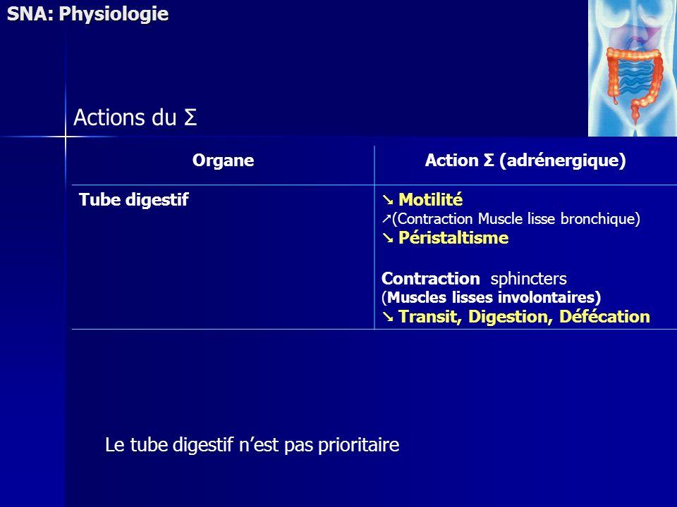 SNA: Physiologie Actions du Σ OrganeAction Σ (adrénergique) Tube digestif Motilité (Contraction Muscle lisse bronchique) Péristaltisme Contraction sph