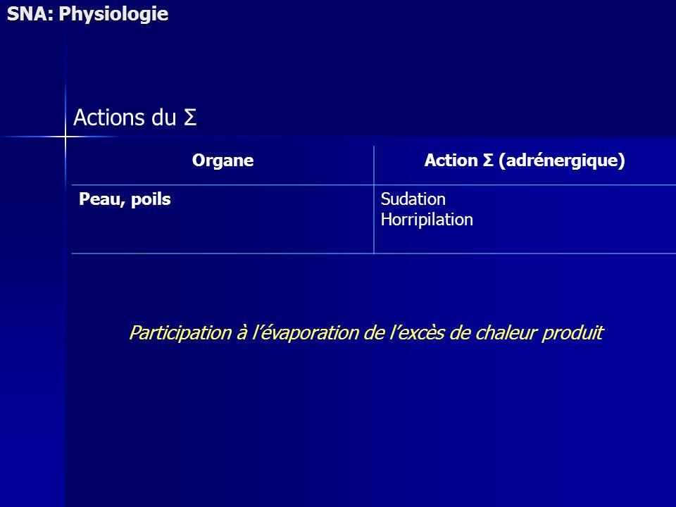 SNA: Physiologie Actions du Σ OrganeAction Σ (adrénergique) Peau, poilsSudation Horripilation Participation à lévaporation de lexcès de chaleur produit