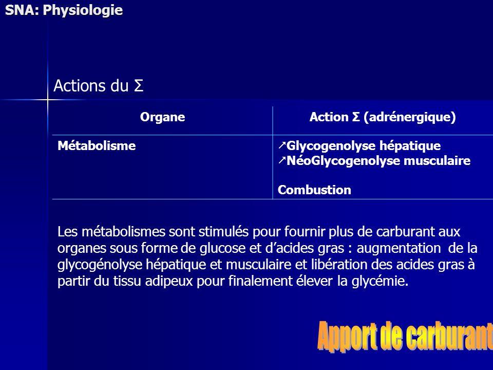 SNA: Physiologie Actions du Σ OrganeAction Σ (adrénergique) Métabolisme Glycogenolyse hépatique NéoGlycogenolyse musculaire Combustion Les métabolisme
