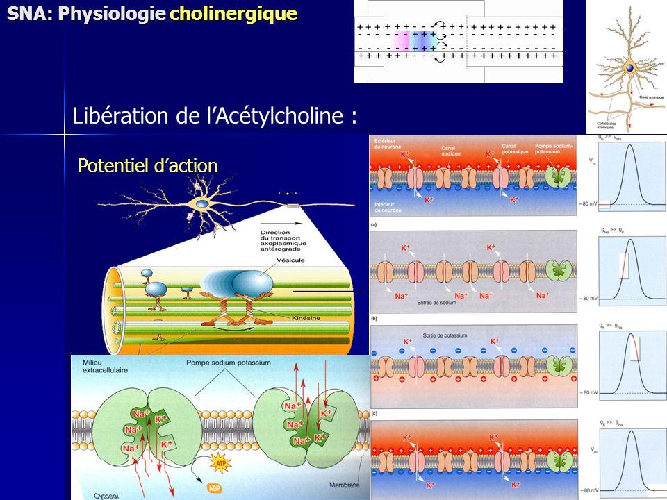 Potentiel daction Libération de lAcétylcholine : SNA: Physiologie cholinergique