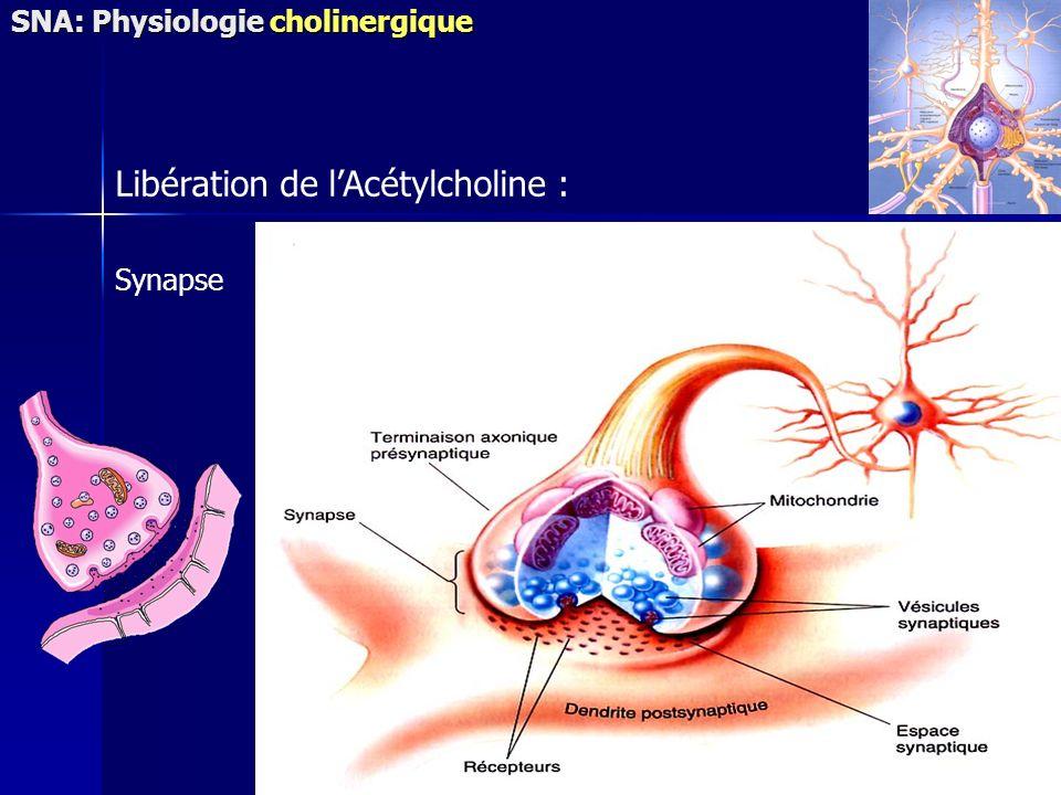 Synapse Libération de lAcétylcholine : SNA: Physiologie cholinergique