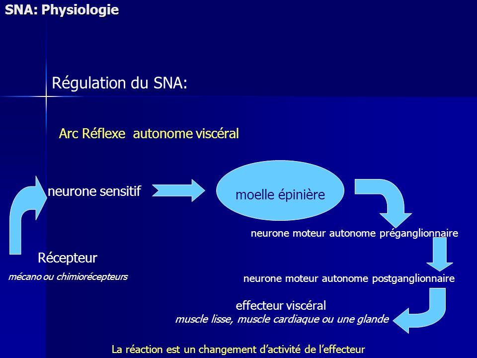 SNA: Physiologie Régulation du SNA: Arc Réflexe autonome viscéral effecteur viscéral muscle lisse, muscle cardiaque ou une glande Récepteur mécano ou chimiorécepteurs neurone sensitif moelle épinière La réaction est un changement dactivité de leffecteur neurone moteur autonome préganglionnaire neurone moteur autonome postganglionnaire