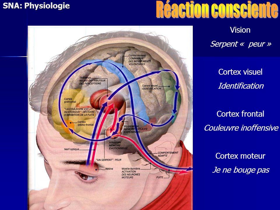 Vision Serpent « peur » Cortex visuel Identification Cortex frontal Couleuvre inoffensive Cortex moteur Je ne bouge pas SNA: Physiologie