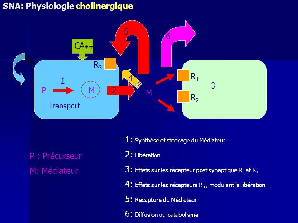 P : Précurseur M: Médiateur 1: Synthèse et stockage du Médiateur 2: Libération 3: Effets sur les récepteur post synaptique R 1 et R 2 4: Effets sur les récepteurs R 3, modulant la libération 5: Recapture du Médiateur 6: Diffusion ou catabolisme PM R1R1 R2R2 R3R3 M 6 5 2 1 3 Transport 4 SNA: Physiologie cholinergique