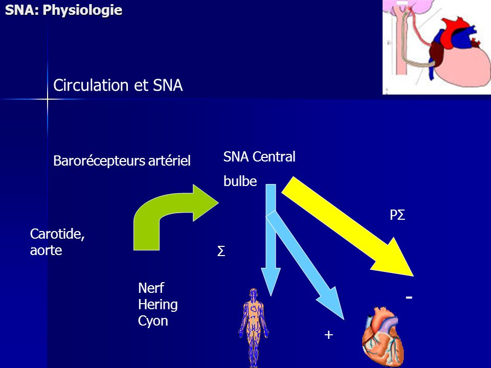 SNA: Physiologie Barorécepteurs artériel Carotide, aorte SNA Central bulbe Nerf Hering Cyon PΣPΣ - Σ Circulation et SNA +