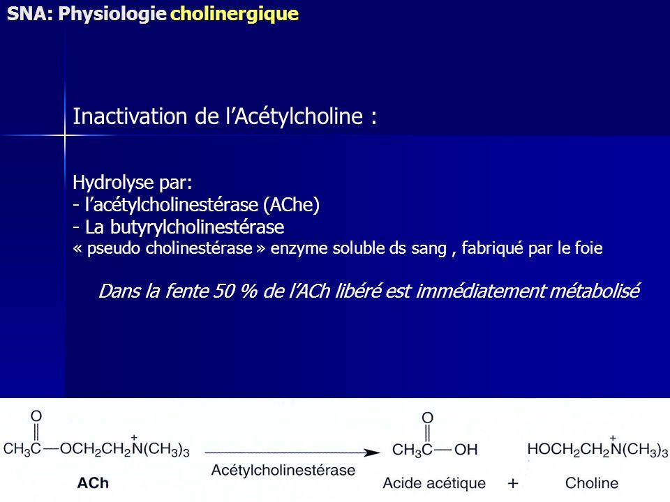 Hydrolyse par: - lacétylcholinestérase (AChe) - La butyrylcholinestérase « pseudo cholinestérase » enzyme soluble ds sang, fabriqué par le foie Dans l