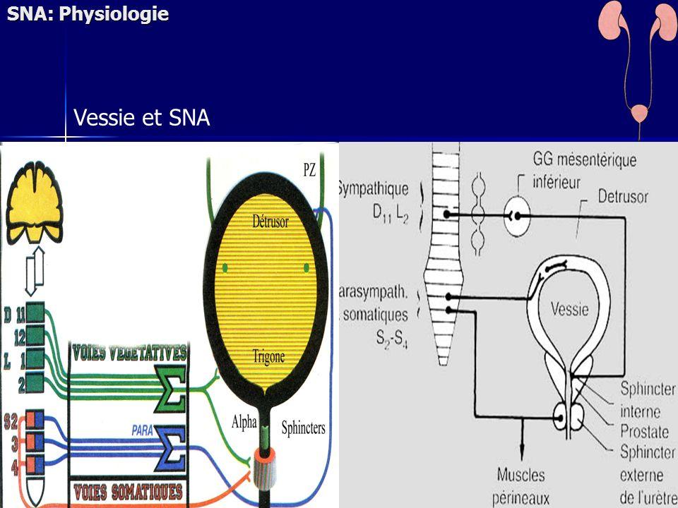 Vessie et SNA SNA: Physiologie