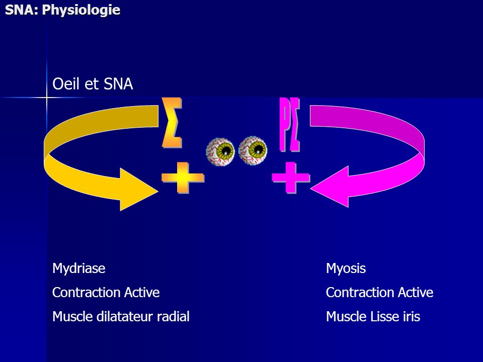 SNA: Physiologie Oeil et SNA Mydriase Contraction Active Muscle dilatateur radial Myosis Contraction Active Muscle Lisse iris