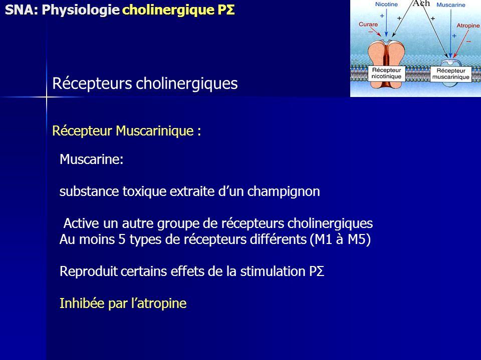 Récepteurs cholinergiques Récepteur Muscarinique : Muscarine: substance toxique extraite dun champignon Active un autre groupe de récepteurs cholinergiques Au moins 5 types de récepteurs différents (M1 à M5) Reproduit certains effets de la stimulation PΣ Inhibée par latropine SNA: Physiologie cholinergique PΣ