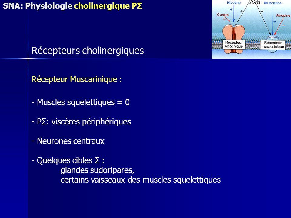 Récepteurs cholinergiques Récepteur Muscarinique : - Muscles squelettiques = 0 - PΣ: viscères périphériques - Neurones centraux - Quelques cibles Σ : glandes sudoripares, certains vaisseaux des muscles squelettiques SNA: Physiologie cholinergique PΣ