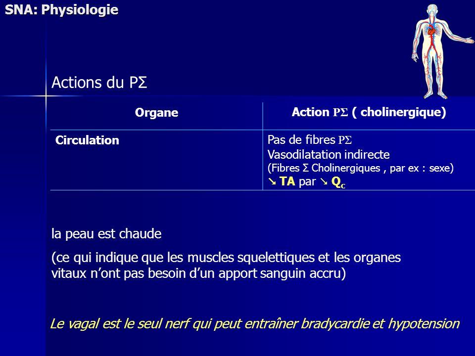 SNA: Physiologie Actions du PΣ OrganeAction PΣ ( cholinergique) CirculationPas de fibres PΣ Vasodilatation indirecte (Fibres Σ Cholinergiques, par ex