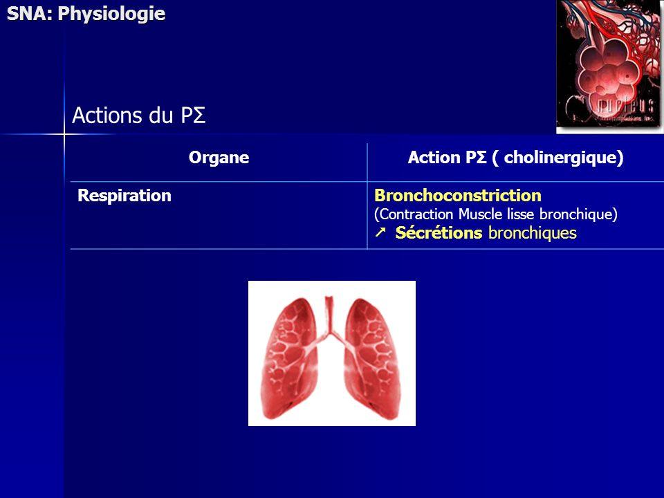 SNA: Physiologie Actions du PΣ OrganeAction PΣ ( cholinergique) RespirationBronchoconstriction (Contraction Muscle lisse bronchique) Sécrétions bronch