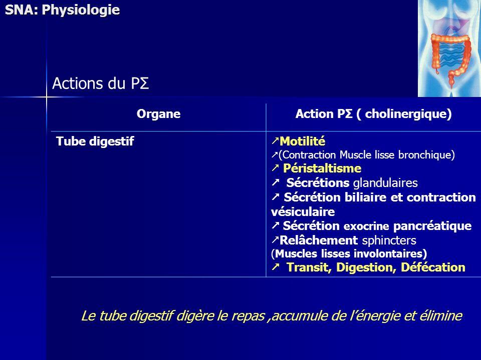 SNA: Physiologie Actions du PΣ OrganeAction PΣ ( cholinergique) Tube digestif Motilité (Contraction Muscle lisse bronchique) Péristaltisme Sécrétions