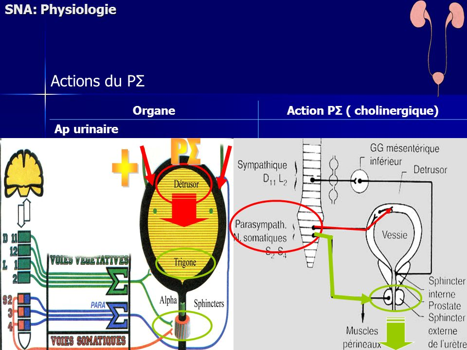 SNA: Physiologie Actions du PΣ OrganeAction PΣ ( cholinergique) Ap urinaire