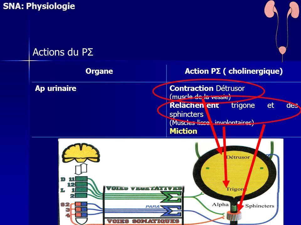 SNA: Physiologie Actions du PΣ OrganeAction PΣ ( cholinergique) Ap urinaireContraction Détrusor (muscle de la vessie) Relâchement trigone et des sphincters (Muscles lisses involontaires) Miction