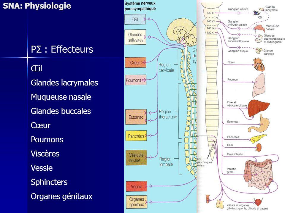 Œil Glandes lacrymales Muqueuse nasale Glandes buccales Cœur Poumons Viscères Vessie Sphincters Organes génitaux PΣ : Effecteurs SNA: Physiologie