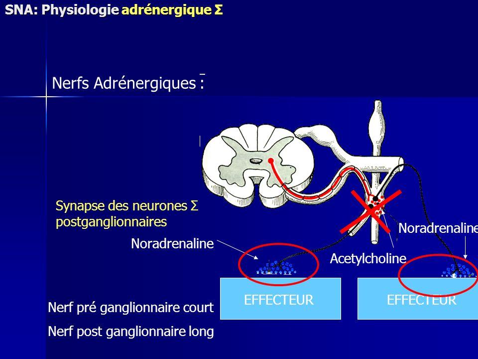 Acetylcholine EFFECTEUR Noradrenaline Nerfs Adrénergiques : Synapse des neurones Σ postganglionnaires Nerf pré ganglionnaire court Nerf post ganglionnaire long SNA: Physiologie adrénergique Σ
