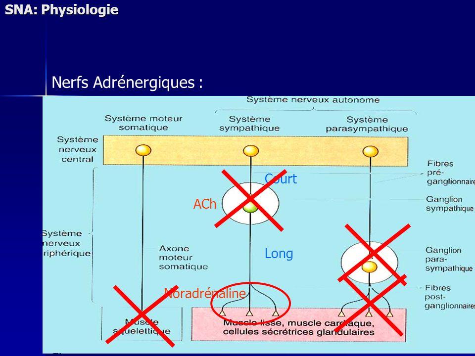 Nerfs Adrénergiques : Court Long ACh Noradrénaline SNA: Physiologie