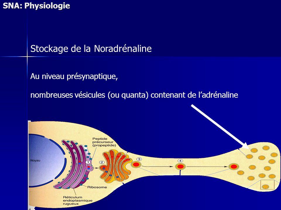 SNA: Physiologie Stockage de la Noradrénaline Au niveau présynaptique, nombreuses vésicules (ou quanta) contenant de ladrénaline