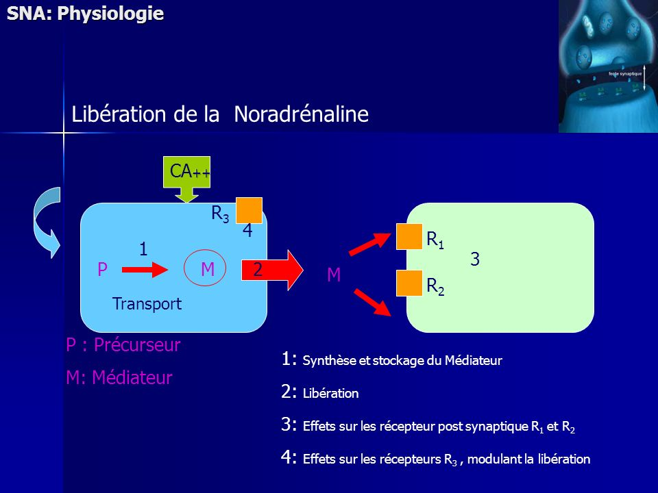 P : Précurseur M: Médiateur 1: Synthèse et stockage du Médiateur 2: Libération 3: Effets sur les récepteur post synaptique R 1 et R 2 4: Effets sur les récepteurs R 3, modulant la libération PM R1R1 R2R2 R3R3 M 2 1 3 Transport SNA: Physiologie Libération de la Noradrénaline 4