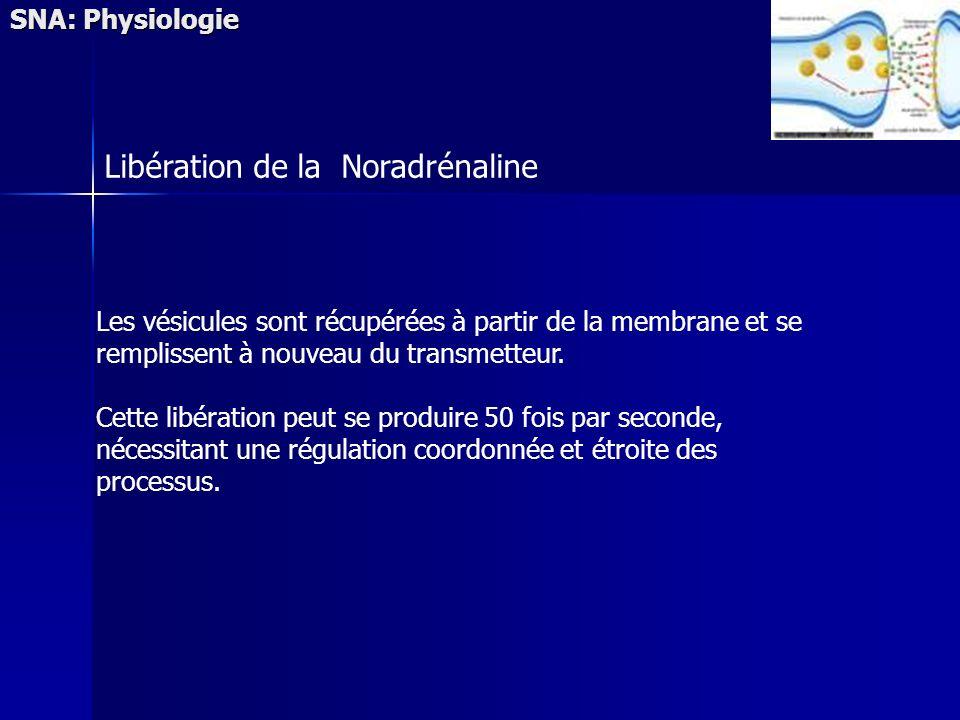 SNA: Physiologie Les vésicules sont récupérées à partir de la membrane et se remplissent à nouveau du transmetteur. Cette libération peut se produire