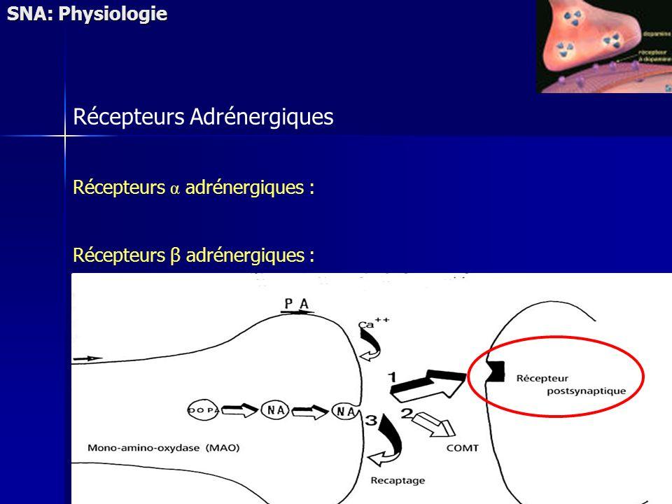 SNA: Physiologie Récepteurs Adrénergiques Récepteurs α adrénergiques : Récepteurs β adrénergiques :