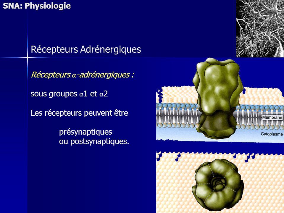 SNA: Physiologie Récepteurs Adrénergiques Récepteurs α -adrénergiques : sous groupes α 1 et α 2 Les récepteurs peuvent être présynaptiques ou postsynaptiques.