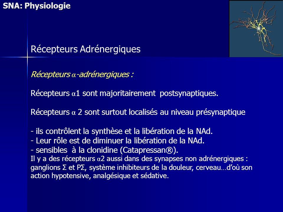 SNA: Physiologie Récepteurs Adrénergiques Récepteurs α -adrénergiques : Récepteurs α 1 sont majoritairement postsynaptiques. Récepteurs α 2 sont surto