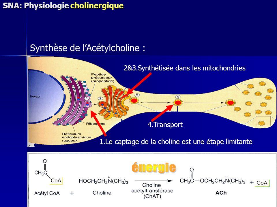 Synthèse de lAcétylcholine : 2&3.Synthétisée dans les mitochondries 1.Le captage de la choline est une étape limitante 4.Transport SNA: Physiologie ch
