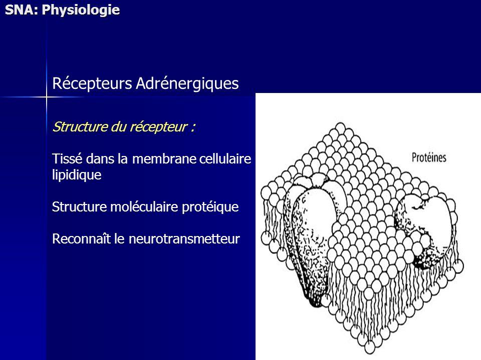 SNA: Physiologie Récepteurs Adrénergiques Structure du récepteur : Tissé dans la membrane cellulaire lipidique Structure moléculaire protéique Reconnaît le neurotransmetteur