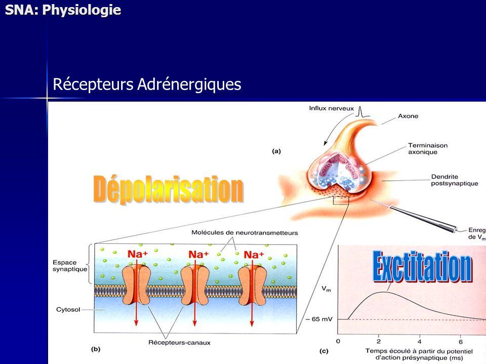SNA: Physiologie Récepteurs Adrénergiques