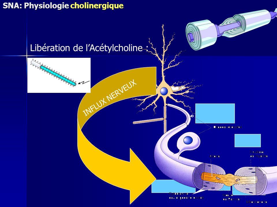 Libération de lAcétylcholine : INFLUX NERVEUX SNA: Physiologie cholinergique