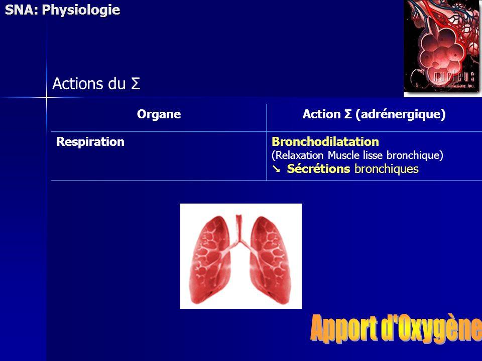 SNA: Physiologie Actions du Σ OrganeAction Σ (adrénergique) RespirationBronchodilatation (Relaxation Muscle lisse bronchique) Sécrétions bronchiques