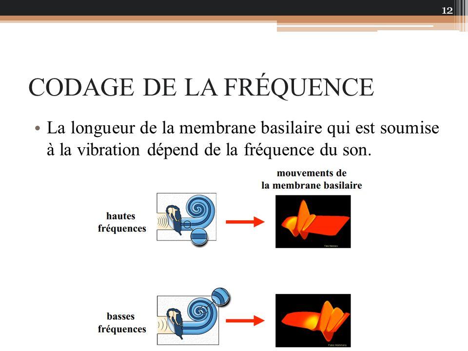 CODAGE DE LA FRÉQUENCE La longueur de la membrane basilaire qui est soumise à la vibration dépend de la fréquence du son. 12