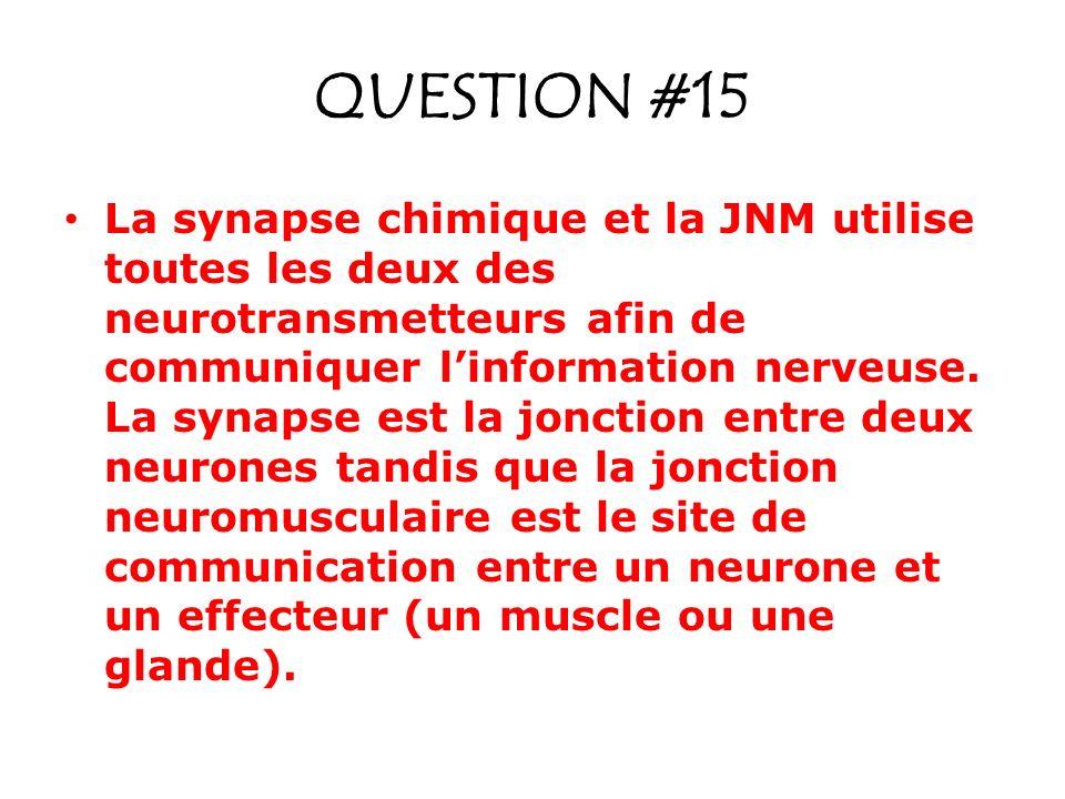 QUESTION #15 La synapse chimique et la JNM utilise toutes les deux des neurotransmetteurs afin de communiquer linformation nerveuse. La synapse est la