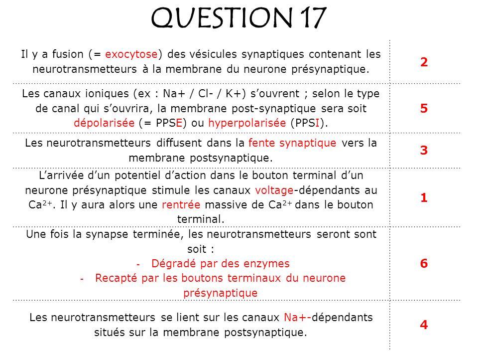 QUESTION 17 Il y a fusion (= exocytose) des vésicules synaptiques contenant les neurotransmetteurs à la membrane du neurone présynaptique. 2 Les canau