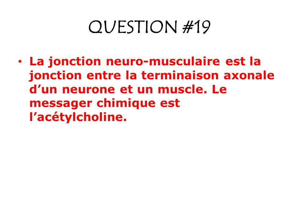 QUESTION #19 La jonction neuro-musculaire est la jonction entre la terminaison axonale dun neurone et un muscle. Le messager chimique est lacétylcholi