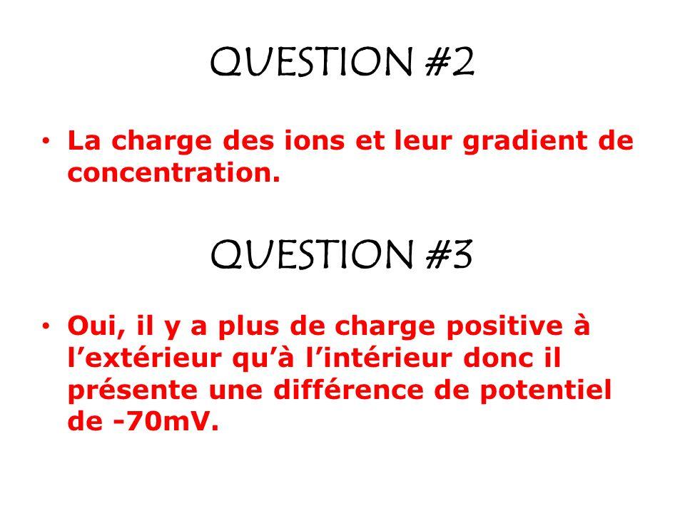 QUESTION #2 La charge des ions et leur gradient de concentration. Oui, il y a plus de charge positive à lextérieur quà lintérieur donc il présente une
