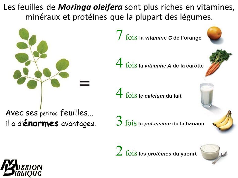 Le Moringa est un petit arbre originaire d'Asie tropicale, naturalisé et cultivé dans de nombreux pays tropicaux.