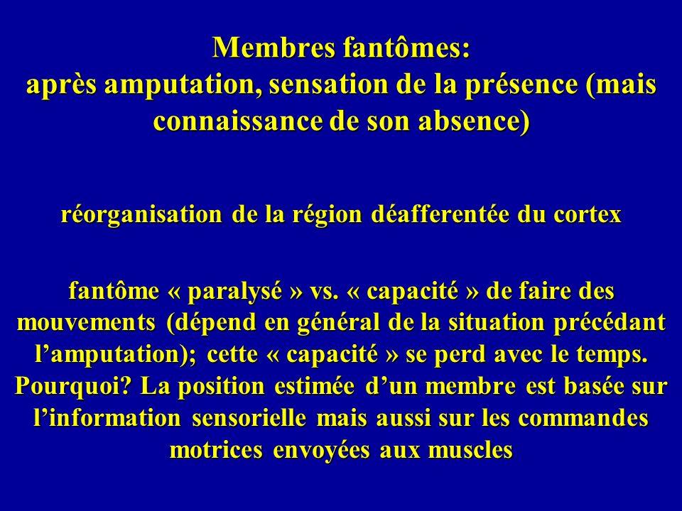 Membres fantômes: après amputation, sensation de la présence (mais connaissance de son absence) réorganisation de la région déafferentée du cortex fan
