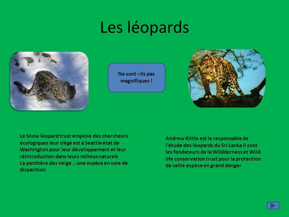 Les léopards Le Snow léopard trust emploie des chercheurs écologiques leur siège est à Seattle état de Washington pour leur développement et leur réin