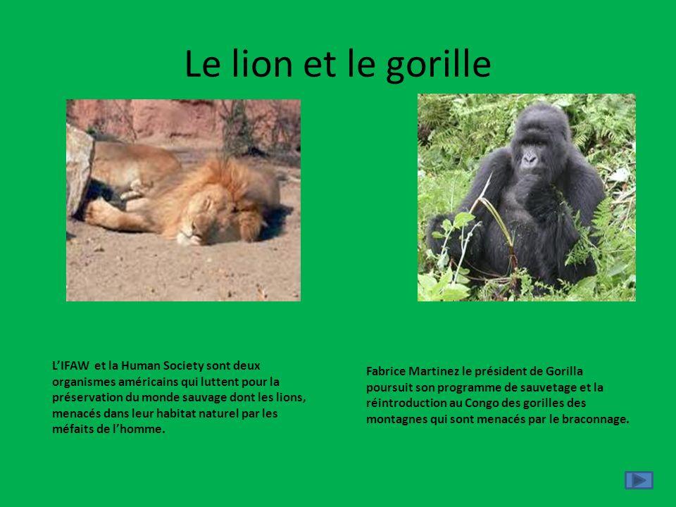 Le lion et le gorille LIFAW et la Human Society sont deux organismes américains qui luttent pour la préservation du monde sauvage dont les lions, mena