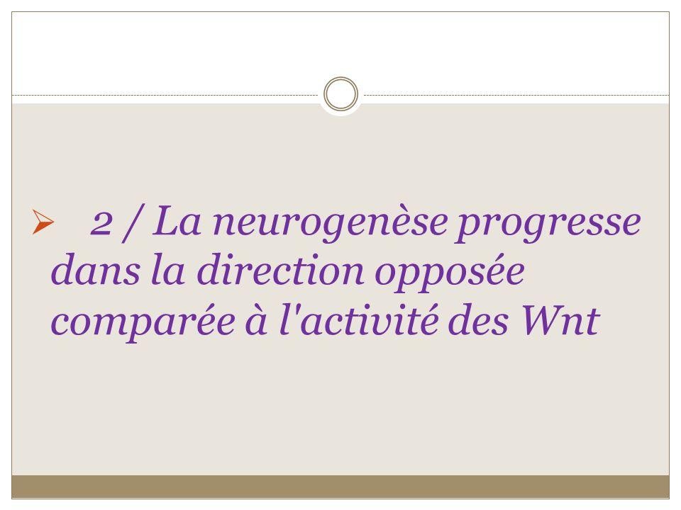 2 / La neurogenèse progresse dans la direction opposée comparée à l'activité des Wnt