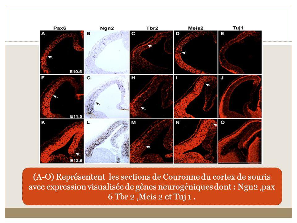 (A-O) Représentent les sections de Couronne du cortex de souris avec expression visualisée de gènes neurogéniques dont : Ngn2,pax 6 Tbr 2,Meis 2 et Tu