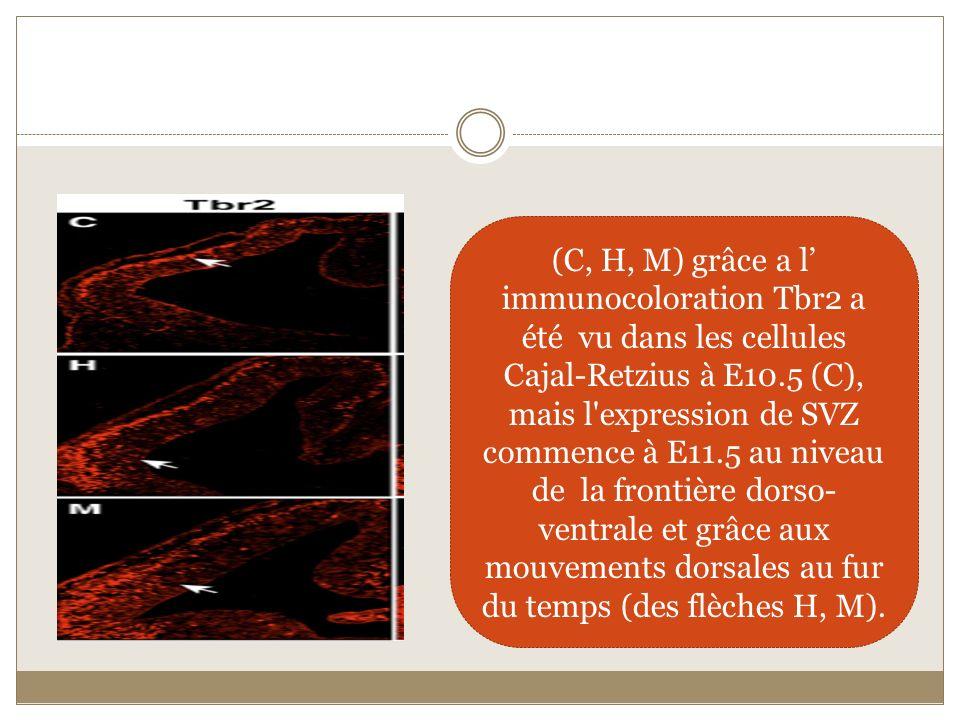 (C, H, M) grâce a l immunocoloration Tbr2 a été vu dans les cellules Cajal-Retzius à E10.5 (C), mais l'expression de SVZ commence à E11.5 au niveau de