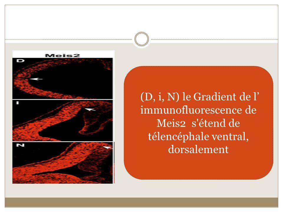 (D, i, N) le Gradient de l immunofluorescence de Meis2 s'étend de télencéphale ventral, dorsalement
