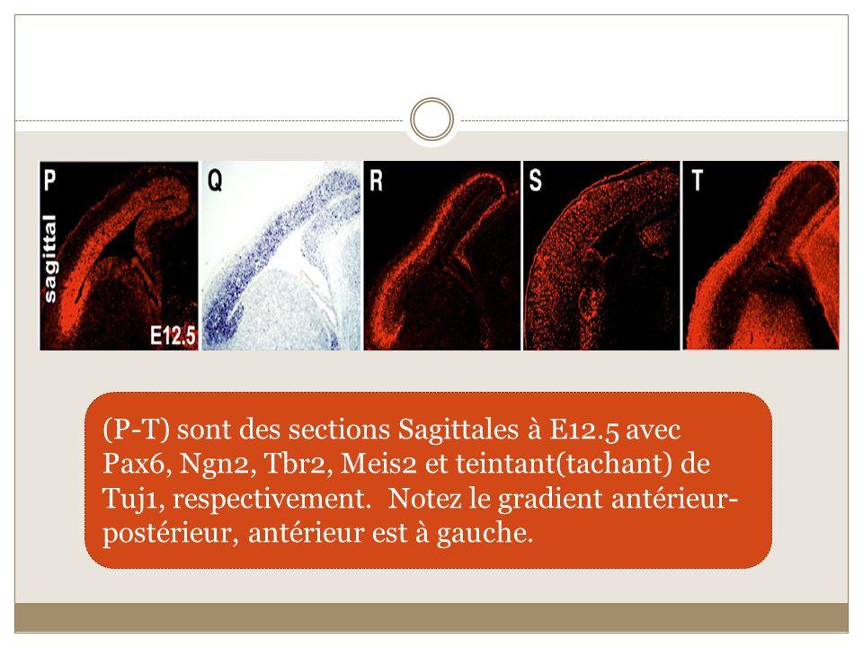 (P-T) sont des sections Sagittales à E12.5 avec Pax6, Ngn2, Tbr2, Meis2 et teintant(tachant) de Tuj1, respectivement. Notez le gradient antérieur- pos