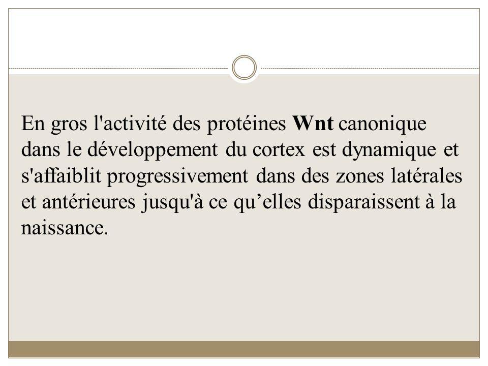 En gros l'activité des protéines Wnt canonique dans le développement du cortex est dynamique et s'affaiblit progressivement dans des zones latérales e
